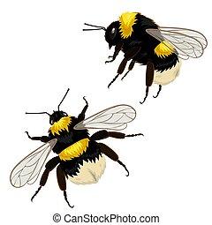 διαφορετικός , θέτω , bumblebees , δυο , εικόνα , απομονωμένος , μικροβιοφορέας , φόντο , angles., άσπρο