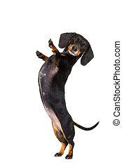 δραστήριος , πέντε , σκύλοs , ψηλά