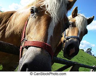 δυο , άλογα