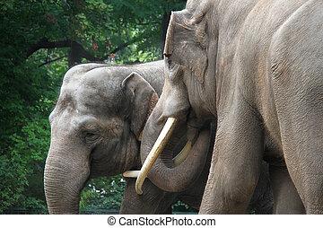 δυο , αγαπώ , ελέφαντας