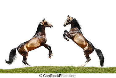 δυο , βαρβάτο άλογο