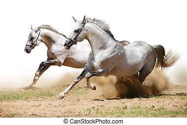 δυο , βαρβάτο άλογο , μέσα , σκόνη