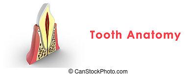 δόντι , δομή