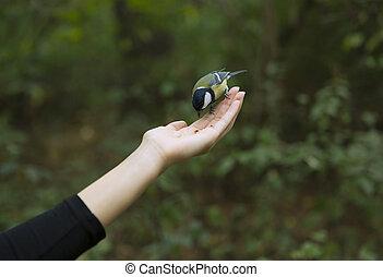 είδος αιγίθαλου , απολαμβάνω , με , παλάμες , πουλί , ανεβάζω , επάνω , ένα , γυναίκα ανάμιξη , και , κατάλληλος για να φαγωθεί ωμός , πουλί , σπόρος