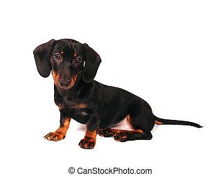 είδος γερμανικού κυνηγετικού σκύλου , κουτάβι