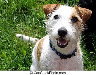 είδος μικρού σκύλου , άνθρωπος russell