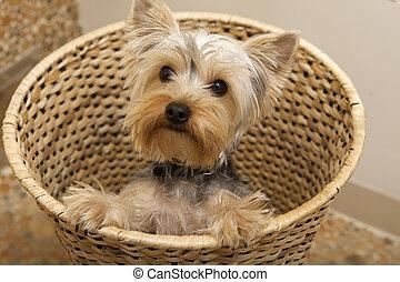 είδος μικρού σκύλου , γιόρκσαϊρ