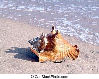 είδος σπειροειδούς κογχύλιου , μέσα , ο , παραλία