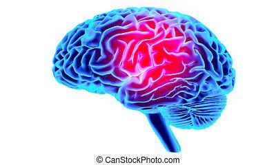 εγκέφαλοs , ανθρώπινος , render, 3d