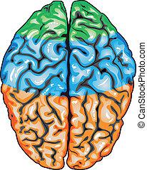 εγκέφαλοs , ανώτατος , ανθρώπινος , βλέπω