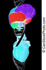 εγκέφαλοs , heart., dna , εικόνα , 3d
