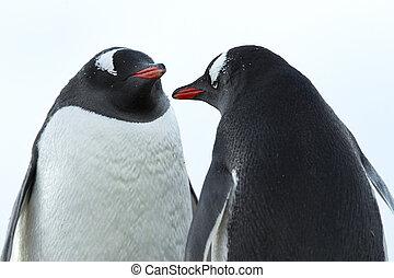 εικόνα , από , ένα , δυο , πιγκουίνος