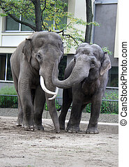 ελέφαντας , δυο , αγαπώ , ζωολογικός κήπος , βερολίνο , ασιάτης