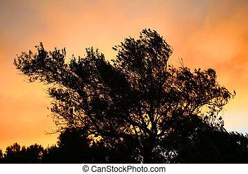 ελαία αγχόνη , περίγραμμα , σε , ηλιοβασίλεμα