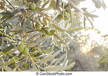 ελιά , ελαφρό πρωινό γεύμα ή πρόγευμα , δέντρο
