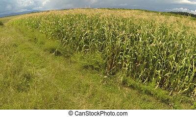 εναέρια , από , cornfield