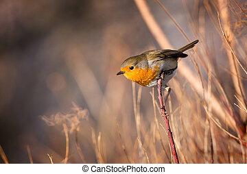 επιδέξιος , κοκκινολαίμης , πουλί , επάνω , ο , παράρτημα