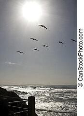 επιφανής ακτινοβολώ , γλάρος , ειρηνικός ωκεανός