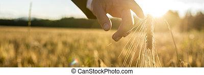 επιχειρηματίας , ή , περιβαλλοντολόγος , αγγίζω , κάτω , με , δικός του , δάκτυλο , ελαφρώς , αφορών , ένα , αυτί , από , ωρίμαση , χρυσαφένιος , σιτάρι