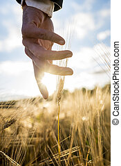 επιχειρηματίας , ή , περιβαλλοντολόγος , αγγίζω , κάτω , με , δικός του , χέρι , ελαφρώς , αφορών , ένα , αυτί , από , ώριμος , χρυσαφένιος , σιτάρι