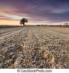 ερημικός , δέντρο , χρυσαφένιος , ανατολή