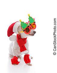 ευτυχισμένος , σκύλοs , κουραστικός , ένα , santa καπέλο , κωμικός , xριστούγεννα , γυαλιά , και , φουλάρι , και , περικνημίδα