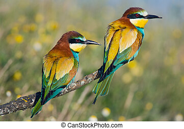 ζευγάρι , από , πουλί