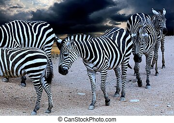 ζούγκλα , zebra