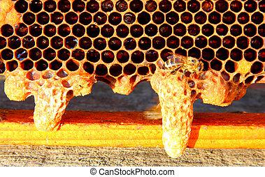 ζωή , και , αναπαραγωγή , από , μέλισσα