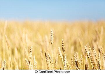 ηλιόλουστος , χρυσαφένιος , σιτάρι , ημέρα , πεδίο