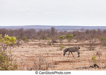 θάμνοι , περίπατος , διαμέσου , zebra