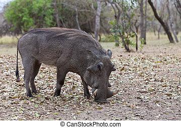 θάμνοι , περίπατος , warthog , αφρικανός