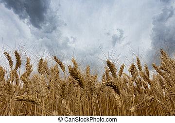 θαμπάδα , πάνω , σιτάρι , καταιγίδα , field.