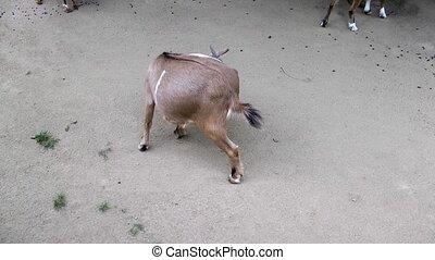 θηλαστικό ζώο , ζώο , goat