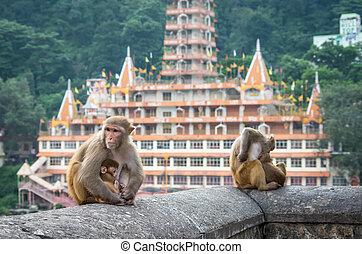 ινδός , μακάκος , μαϊμούδες
