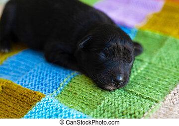κάλυμμα κρεβατιού , μικρός , κουτάβι , μαύρο , κοιμάται