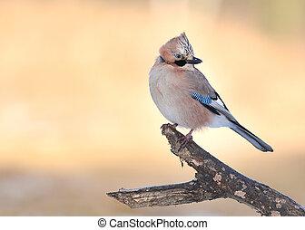 κίσσα , πουλί