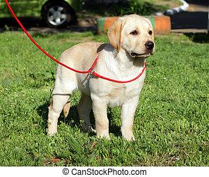 κίτρινο , σκυλί ράτσας λαμπραντόρ , κουτάβι , επάνω , ο , αγίνωτος αγρωστίδες