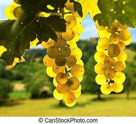 κίτρινο , σταφύλια