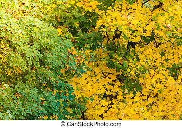 κίτρινο , φθινόπωρο φύλλο , πέφτω , βγάζω κλαδιά