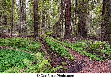 καλιφόρνια , ερυθρόδενδρο , ακτοπλοϊκός , δάσοs