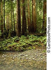 καλιφόρνια , ρυάκι , εύχυμος , redwood αναδασώνω