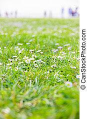 καλοκαίρι , λιβάδι , από , μαργαρίτα , λουλούδια