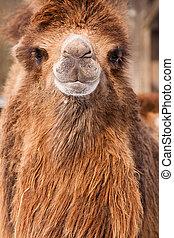 καμήλα , πορτραίτο