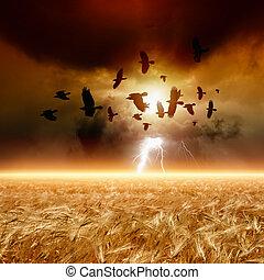 κατάμαυρος , πεδίο , κοπάδι , ιπτάμενος , σιτάρι