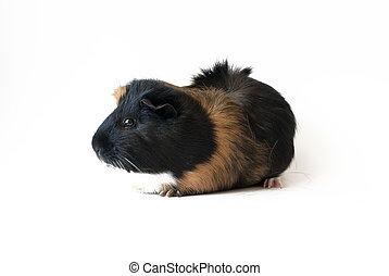 κατοικίδιο ζώο , είδος ποντικού