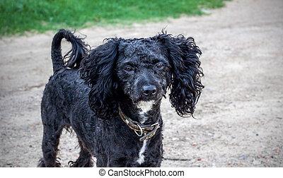 κεφάλι , μαύρο , γκρο πλαν , σγουρόμαλλο σκυλάκι