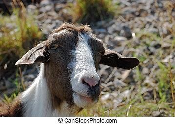 κεφάλι , goat, νταντά