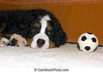 κουτάβι , μπάλα