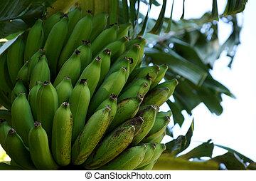 κρεμώ , δέντρο , μεγάλος , πράσινο , banana's, μπουκέτο